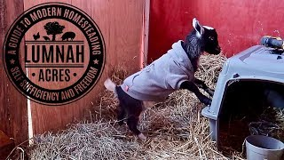 The Goat that was REJECTED by her MOM acts Just Like HER