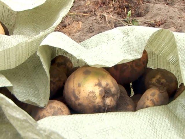 Картофелемания