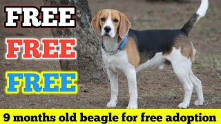 FREE | FREE | Beagle Male Dog For Free Adoption