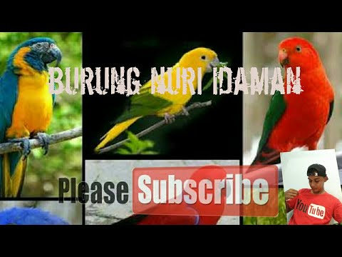 Video Cara melatih burung nuri