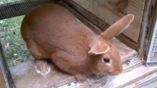 Red New Zealand rabbit update...( NEW RED'S)