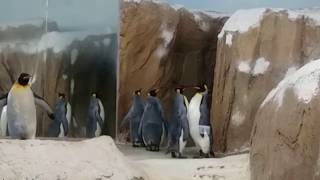 King Penguin 國王企鵝