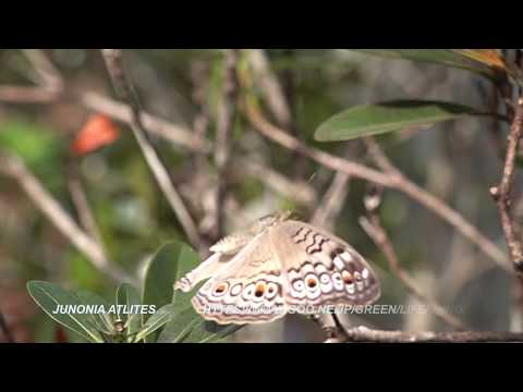 Entopiaで見られるタテハチョウ Nymphalidae butterflies of Entopia PENANG