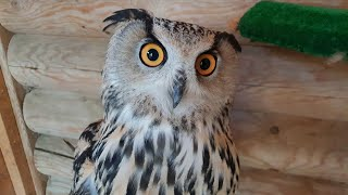 Sorry, Eagle Owl Varya, we have offended you today. She didn't even say 'Uhoo' once!