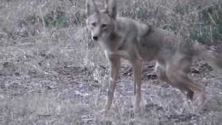 Male Coyote Marking His Territory - San Francisco (part 9)