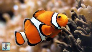 3 HOURS of Aquarium Relax Music - Coral Reef Aquarium - Stunning Clown Fish Aquarium