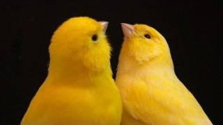 Canarios Amarillos Nevados E Intensos