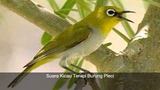 Suara Terapi Kicauan Burung Pleci