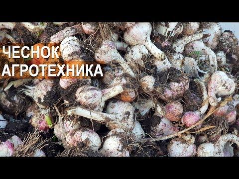 Выращивание чеснока в КФХ Игоря Дмитриева. Техника и Агротехника