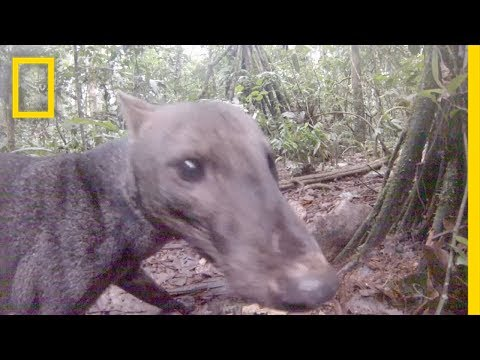 See an Extremely Rare Jungle Dog | National Geographic