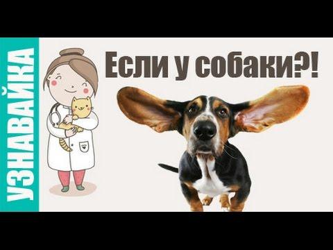 Если у собаки понос, рвота, сухой нос. Узнавайка