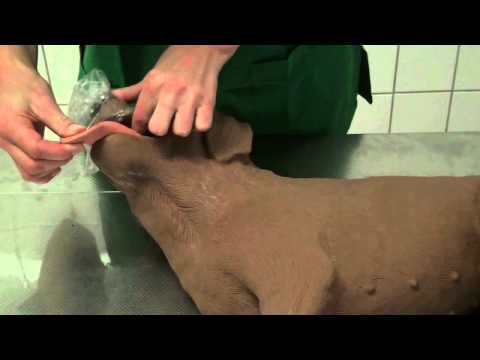 "CSL: Reanimation - ""Erste Hilfe"" (basic life support) beim Hund - dargestellt am Simulator"