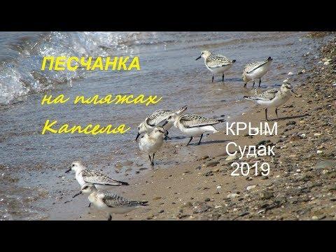 Песчанка Calidris alba, Крым, СУДАК 2019,  Пляж в Капсельской бухте 04 сентября