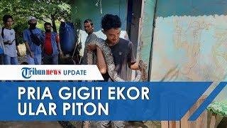 Pria di Kabupaten Batanghari Nekat Gigit Ular Piton Sepanjang 4 Meter demi Selamatkan Seekor Kucing