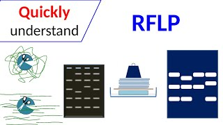 RFLP | Restriction Fragment Length Polymorphism