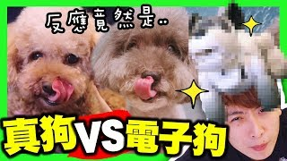 【測試】🐶當真狗遇上「電子狗」的反應?會唱歌的狗?😂(中字)