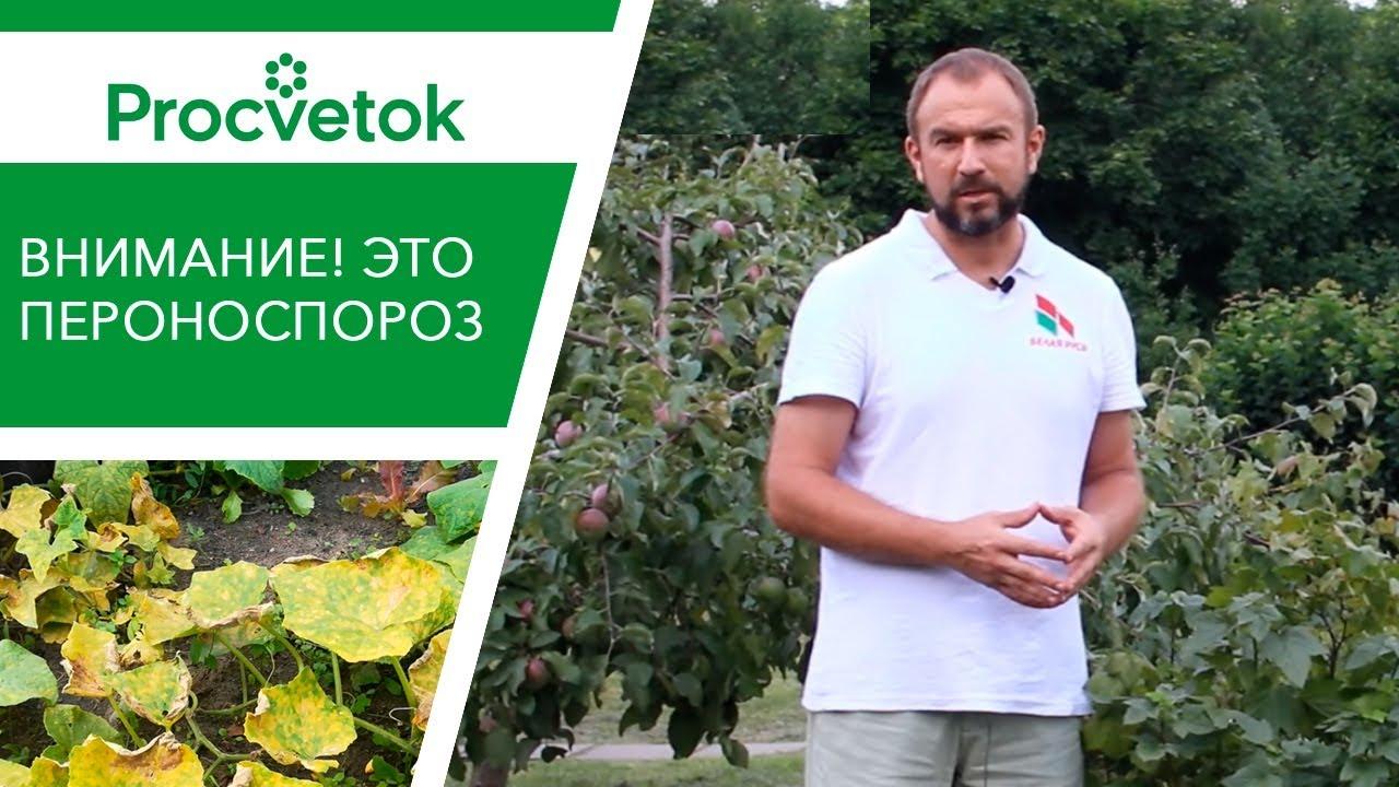 Вот это ПЕРОНОСПОРОЗ огурца и кабачка. Как опознать пятна на листьях огурца и лечить болезнь?