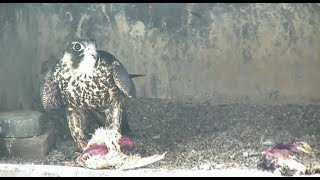 Jersey City Falcon Cam ~ BM/13 Is HOME! Returned Safely To Nest Box After Injury 7.12.19