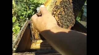 Ошибки пчеловода! ( наращивание пчелы в зиму и сила семьи осенью - часть 1 )