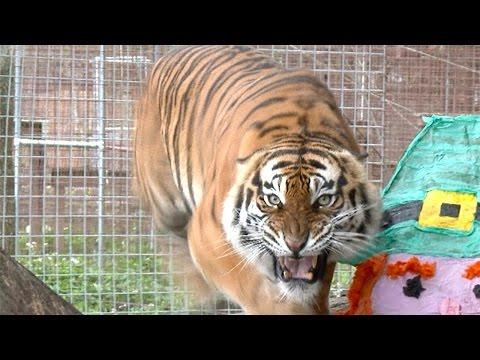 Angry Tiger VS Angry Lion