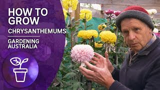 Plant Profile: How To Grow Chrysanthemums