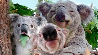 X. Koalas, Our Cute Catatonic Koala's - Crazy Facts About 10 Common Animals: