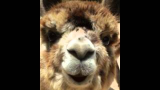 ALPACA Nutter Butter teaches how to spell Mississippi, Appaloosa alpaca