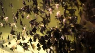 Skalára mramorová - Pterophyllum Scalare Marble a Skalára Zlatá - Pterophyllum Scalare Gold