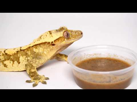 Thinking About Getting A Crested Gecko? WATCH THIS FIRST! Mp3
