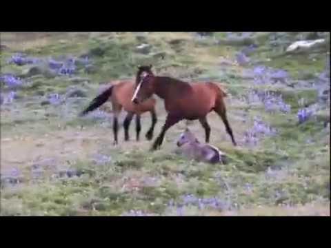 Instinto Materno -  Égua Protegendo filho Dos Potros.