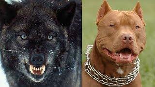 Top 10 razas de perros prohibidos por el mundo