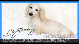 Lightening - A Male Clear Cream (While) Miniature Longhaired Dachshund Puppy