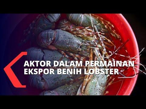 pengamat oknum ekspor benih lobster adalah pemain-pemain lama