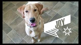 7 month old Lab puppy Joy learning leash manners | Houston dog training