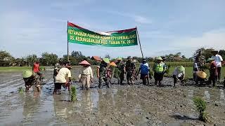 Dandim 0711/Pemalang tanam padi di Desa Kedungbanjar