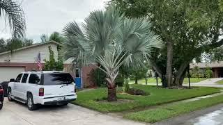Bismarck Palm 4′ Clear Trunk