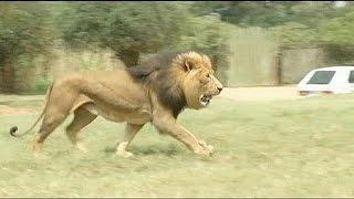 Afrique Du Sud : Mordue à Mort Par Un Lion