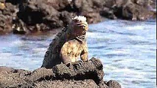 preview picture of video 'Las Tintoreras- Isabella Island, Galapagos, Ecuador, Davidsbeenhere.com'