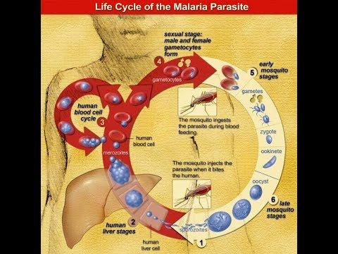 Keserű tabletták a paraziták számára