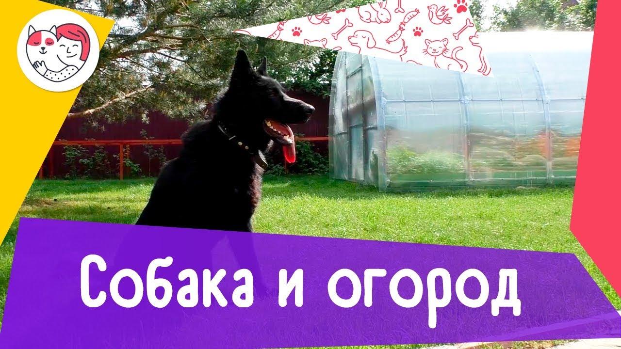 4 совета, как уберечь огород от собаки