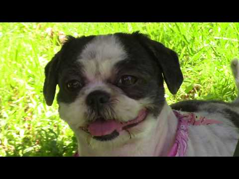 Lola (needs an angel), an adopted Shih Tzu in Stratford, CT_image-1