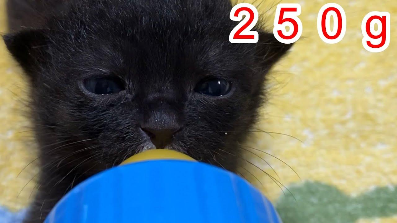 [捨て猫]子猫を保護したのでミルクあげてみた。4日目の成長記録