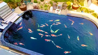 Is This Worlds MOST BEAUTIFUL Private KOI POND? 20,000gallon