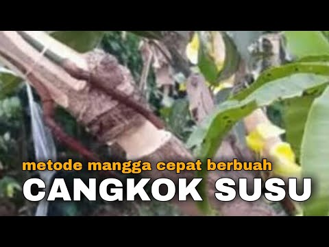 MANGGA CEPAT BERBUAH DENGAN CANGKOK SUSU || POHON MANGGA