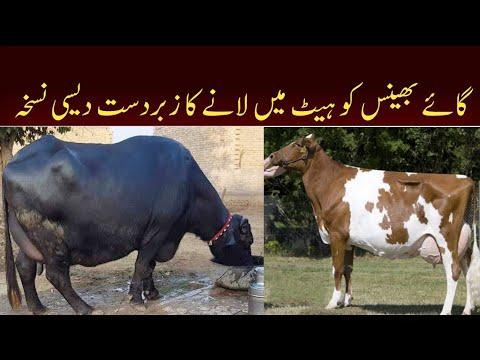 , title : 'Cows / Buffaloes KO Heat main lanay Ka desi Nuskha   گائے بھینس کو ہیٹ میں لانے کا زبردست دیسی نسخہ