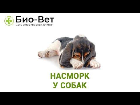Насморк у Собак: 🌡️ Симптомы и Как Лечить // Сеть Ветклиник БИО-ВЕТ