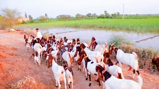 Goat farming - TH-Clip