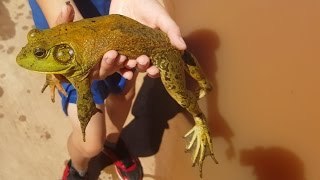 Diving for Big Bullfrogs, Catching Pet Amphibians & Reptiles, Nature, Herping, Funny Animals 4K.