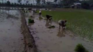 preview picture of video 'BALISREE . Rice Cultivation'
