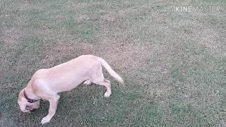 4 Months Labrador Training